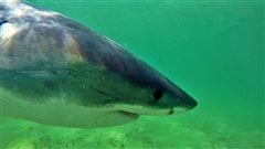 Alerte aux grands requins blancs à Cape Cod