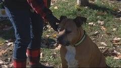 Un changement de réglementation sur les chiens pitbulls réclamé à Ottawa