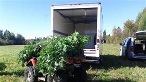 Saisie de plants de marijuana dans un champ