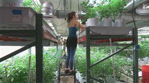 Au Colorado, on tente d'obtenir un test fiable pour reprérer les conducteurs dont les facultés sont affaiblies par la marijuana.