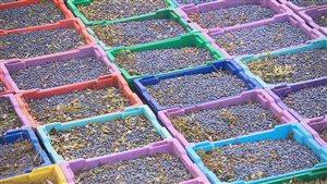 Les bleuets sont abondants et l'exportation est profitable.