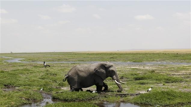 La population d'éléphants d'Afrique a chuté de 111 000 individus depuis 2006 et stagne autour de 415 000 têtes, selon les données les plus récentes.