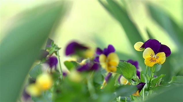 Les pensées (viola) font partie des multiples fleurs comestibles.