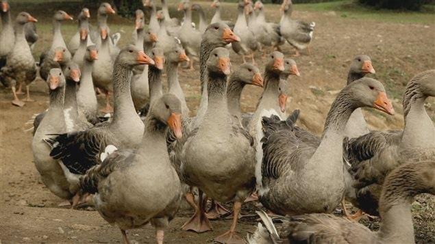 Élevage de canards en liberté et sans gavage en Espagne.