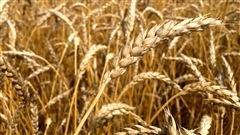 La renaissance du blé québécois