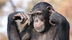 Assassinat politique chez les chimpanzés: une étude américaine passionnante