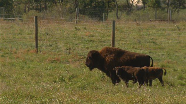 Les bisons des bois de la Saskatchewan