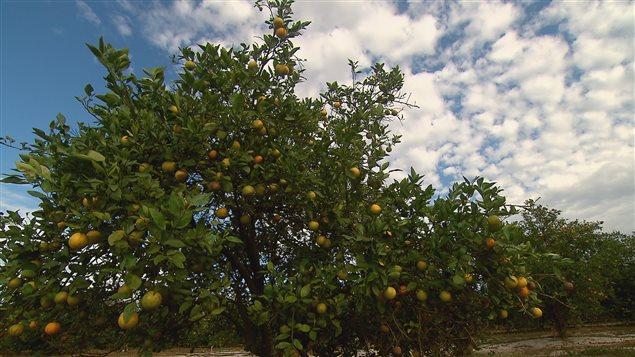 La maladie du dragon jaune ravage les vergers d'agrumes de la Floride.
