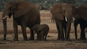 elephants-ivoire
