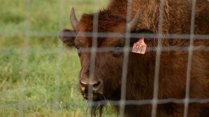 La science au secours des bisons des bois de la Saskatchewan