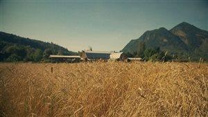 Un producteur de la Colombie-Britannique cultive le blé marquis, un blé ancestral.