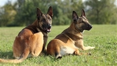 Des chiens pour renifler le cancer du sein