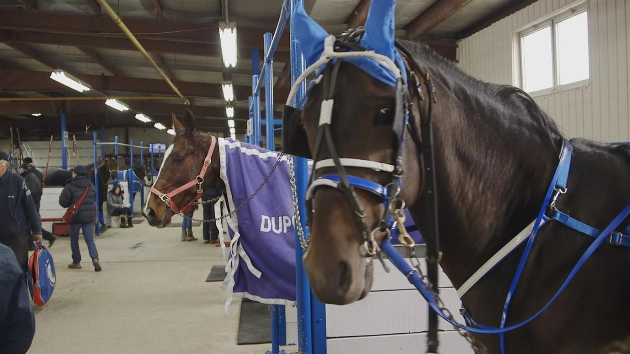 Comment apprivoiser un cheval de course?