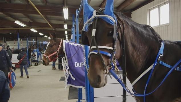 Lévriers et chevaux de course