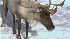 Le déménagement des caribous de Val-d'Or ne fait pas l'unanimité