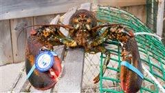 La pêche au homard s'amorce