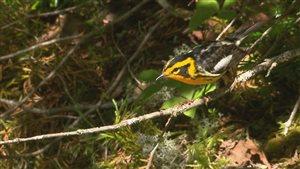 Une des espèce de parulines qui pourraient aider à enrayer la tordeuse des bourgeons de l'épinette.