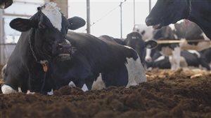 Les vaches sont installées bien confortablement sur la litière compostée.