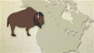 Les bisons en Amérique du Nord