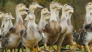 Le canard basque est réputé pour son foie gras de qualité.