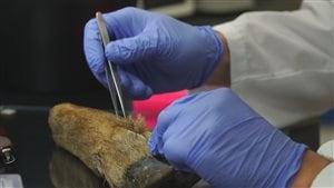 Une scientifique prélève des échantillons sur une patte de cerf.
