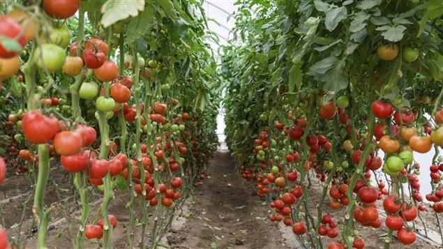 La prospérité de la serriculture au Québec