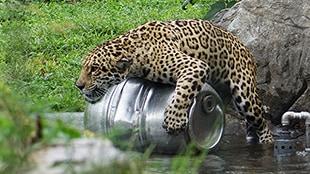 Profession: gardienne de jaguars