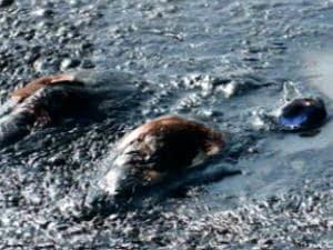 Canards morts dans un bassin de décantation de sables bitumineux