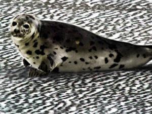 Un phoque gris