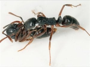 Pachycondyla chinensis