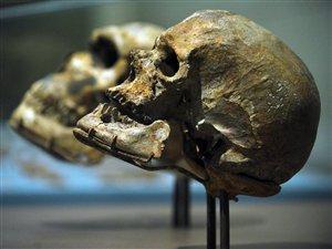 Un crâne d'homo sapiens conservé au Musée national d'histoire naturelle à Washington, aux États-Unis