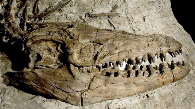 Radio Canada Cote Nord >> Des fossiles de dinosaures marins découverts à Lethbridge ...