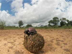 Un bousier et sa boule