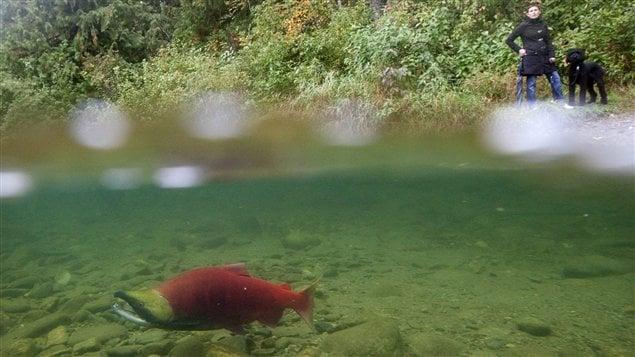 Un saumon Sockeye, dans la rivière Adams, en Colombie-Britannique.