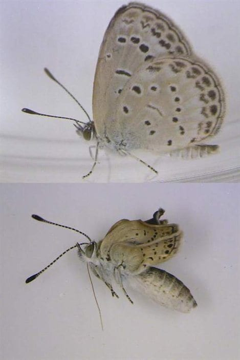 Le papillon du haut est normal alors que celui du bas a souffert de la radioactivité.