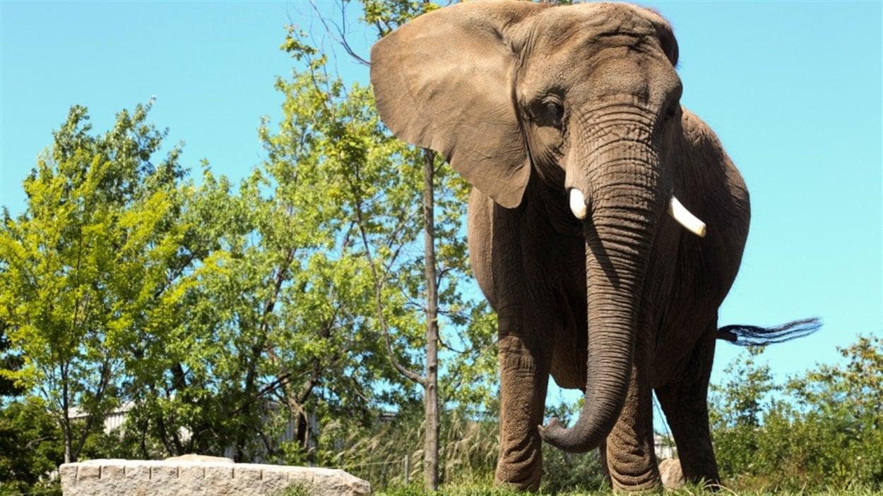 L'éléphante Toutoune du Zoo de Granby