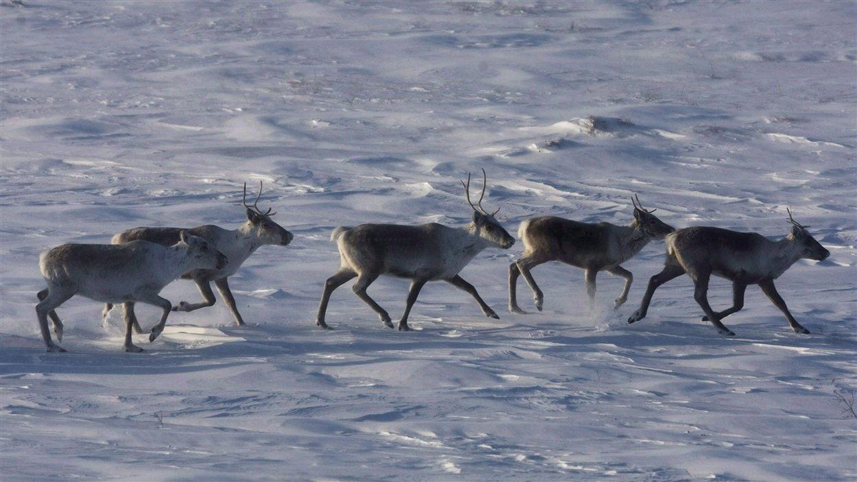 Des caribous au Nunavut
