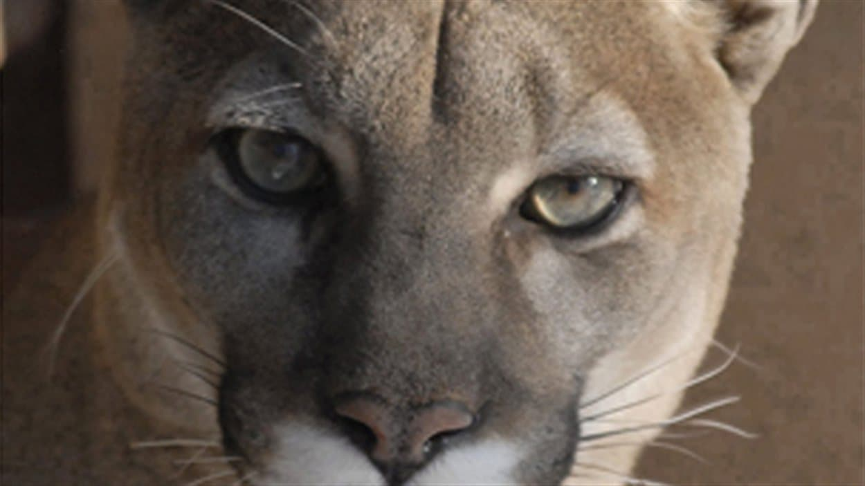 puma animal canada