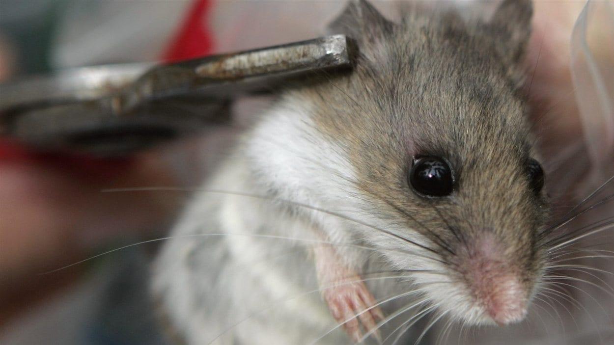 Une souris sylvestre