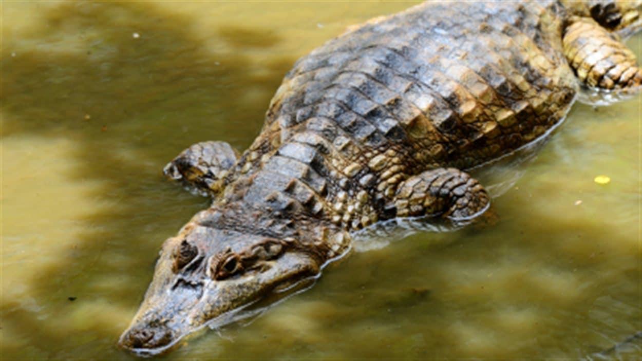 crocodile-eau-general