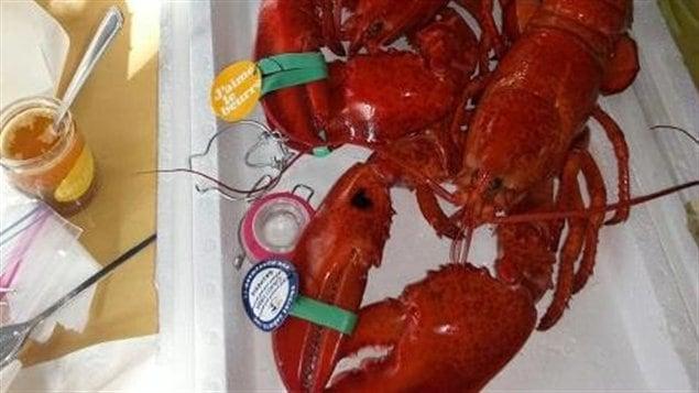 Le médaillon attaché à la pince sert à identifier la provenance du homard et du pêcheur