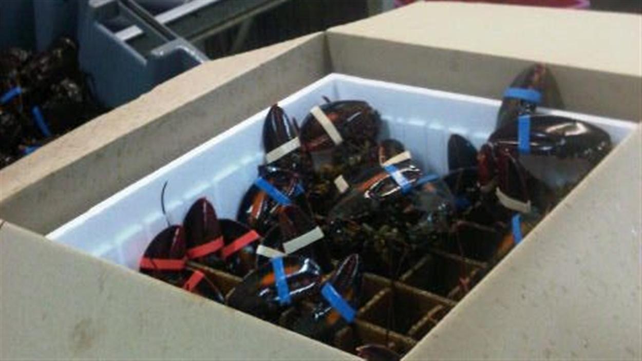 Homards de Tangier Lobster