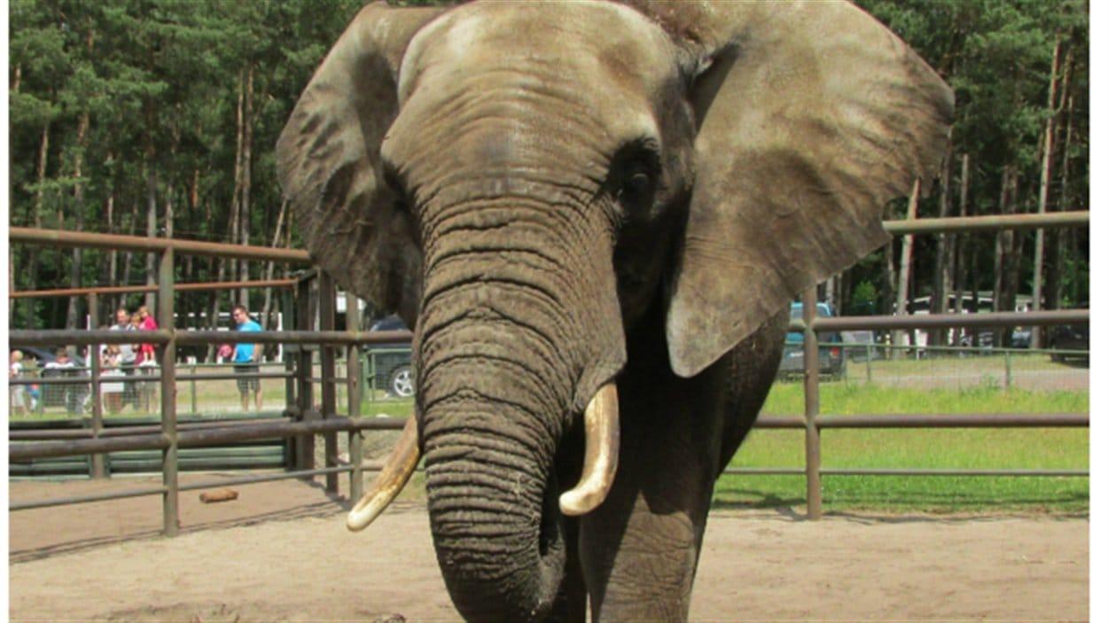 Tutume, le nouvel éléphant du Zoo de Granby