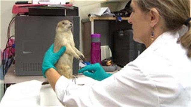 Une employée du musée Royal de la Saskatchewan, Marilyn Bellows, fait la toilette d'un animal empaillé.
