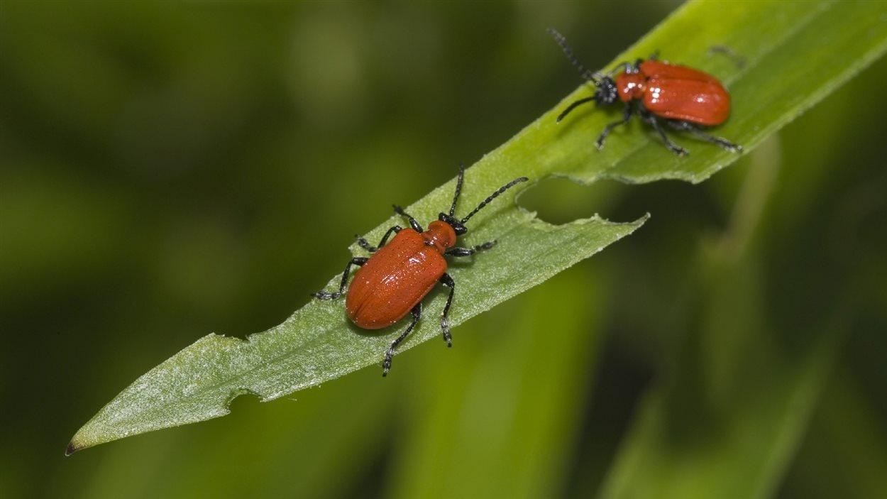 Une infestation d 39 insectes menace les jardins du manitoba - Insectes nuisibles du jardin ...