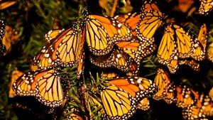 La migration des monarques