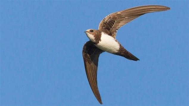 L 39 oiseau qui vole 200 jours sans arr t ici radio for Lien dans une nouvelle fenetre