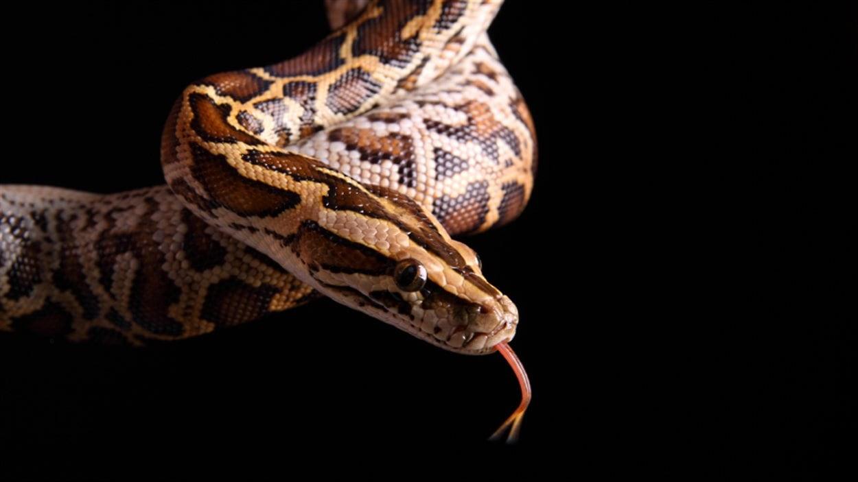 """Résultat de recherche d'images pour """"pythons birmans"""""""