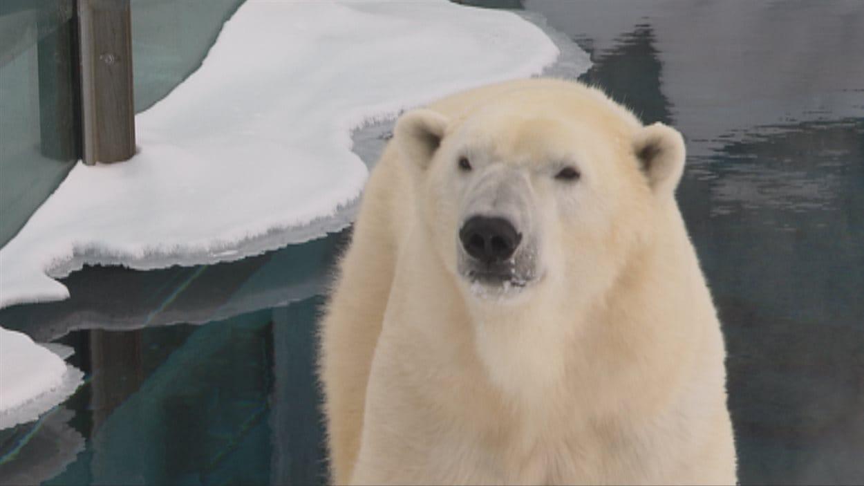 Un ours polaire au Zoo sauvage de Saint-Félicien