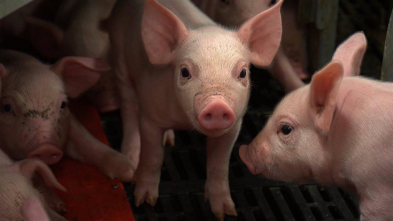 Mortelle pour les porcelets, la diarrhée épidémique porcine (DEP) ravage les maternités atteintes.